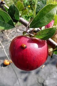 604 apple bug